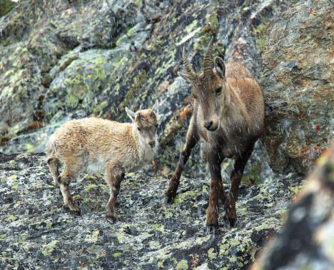 Alpine ibex, Gran Paradiso, Italy