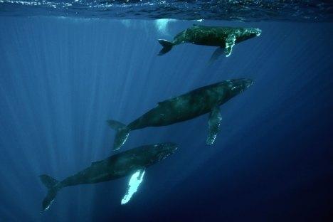 cetacea liguria - photo#23