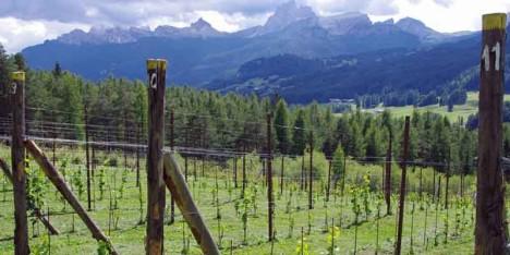 vigna 1350 highest vineyard in Europe