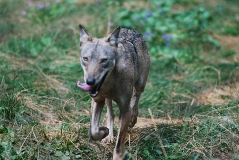 Italian wolf, Abruzzo National Park, Italy