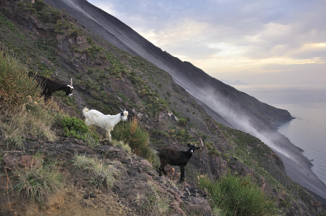 Vulcano Goats on Stromboli, Aeolian Islands, Sicily, Italy