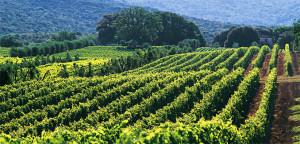 euganean vineyards - wine